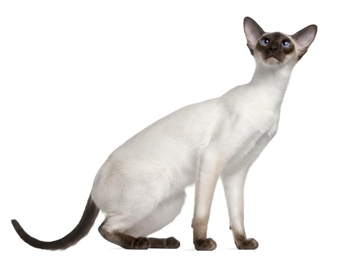 gatto siamese coda e zampe