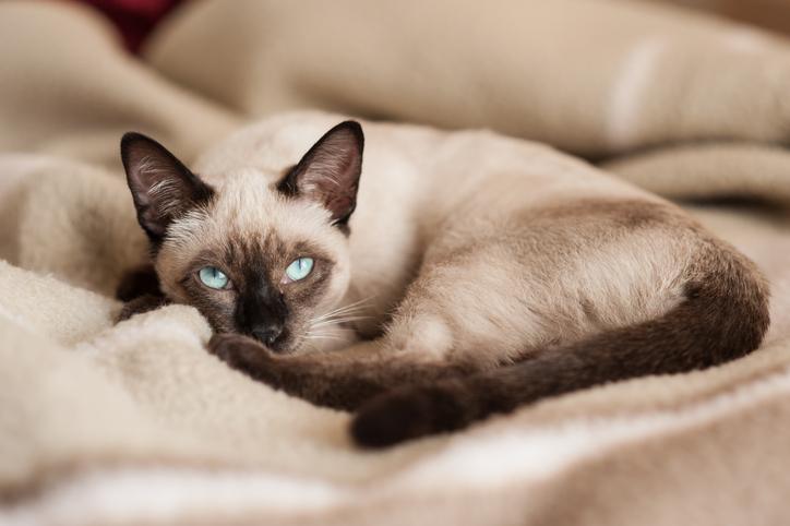 gatto siamese pelo e mantello