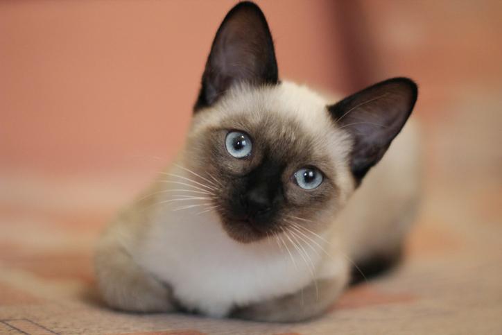 gatto siamese consigli occhi