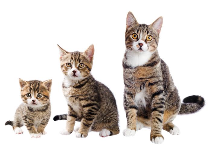 Alimenti per gatti quante calorie servono al gatto