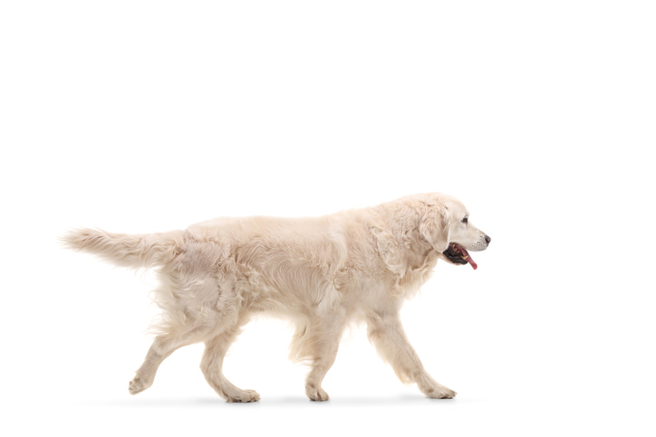 Coda cane orizzontale cosa significa