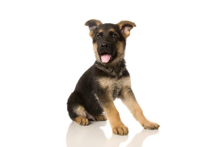 Pastore tedesco cosa mangia il cucciolo