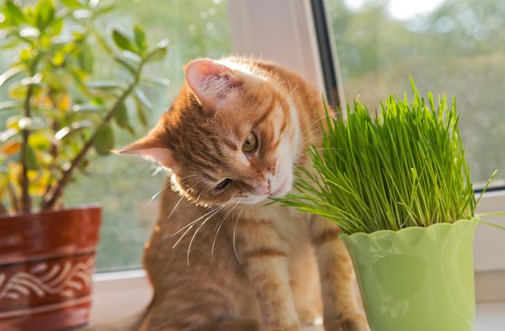 gatto in appartamento perché non deve mai mancare l'erba gatta