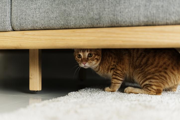 gatto in appartamento cosa fare quando si nasconde