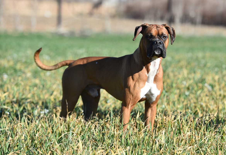 boxer cane tutto quello che devi sapere