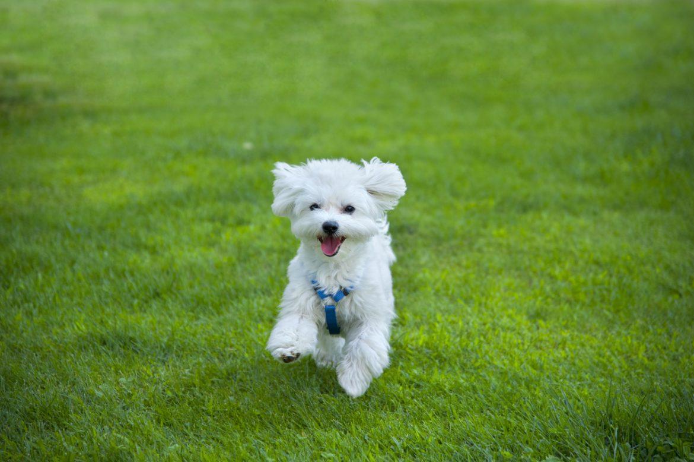 cane maltese tutto sul cane di razza
