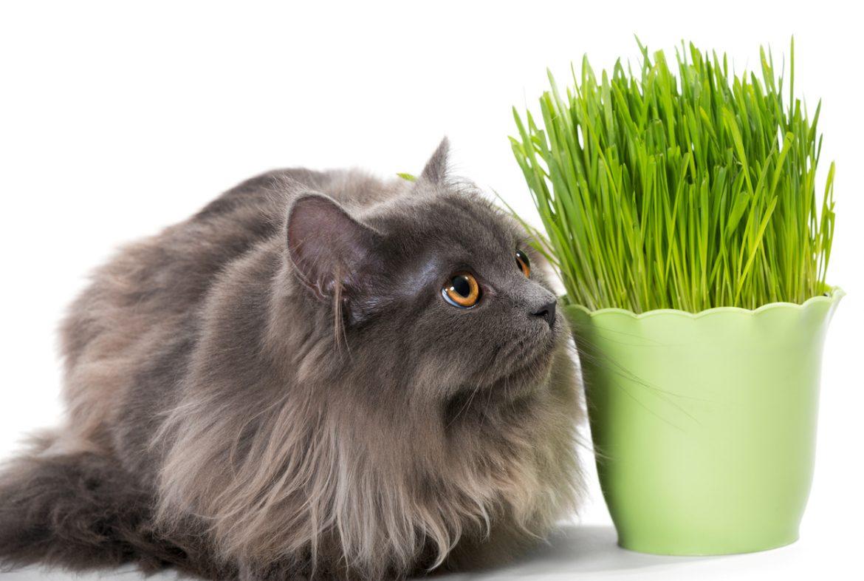 erba gatta qual é la pianta che piace ai gatti