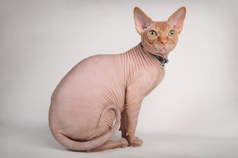 gatto senza pelo quali sono le dieci razze più belle