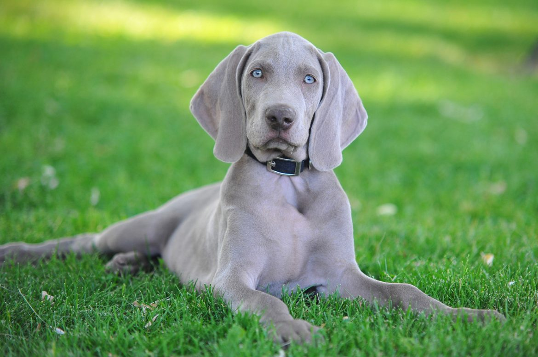 bracco di weimar la storia del cane di razza