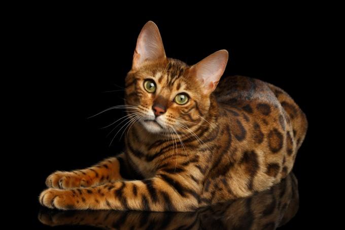gatto del bengala carattere e alimentazione