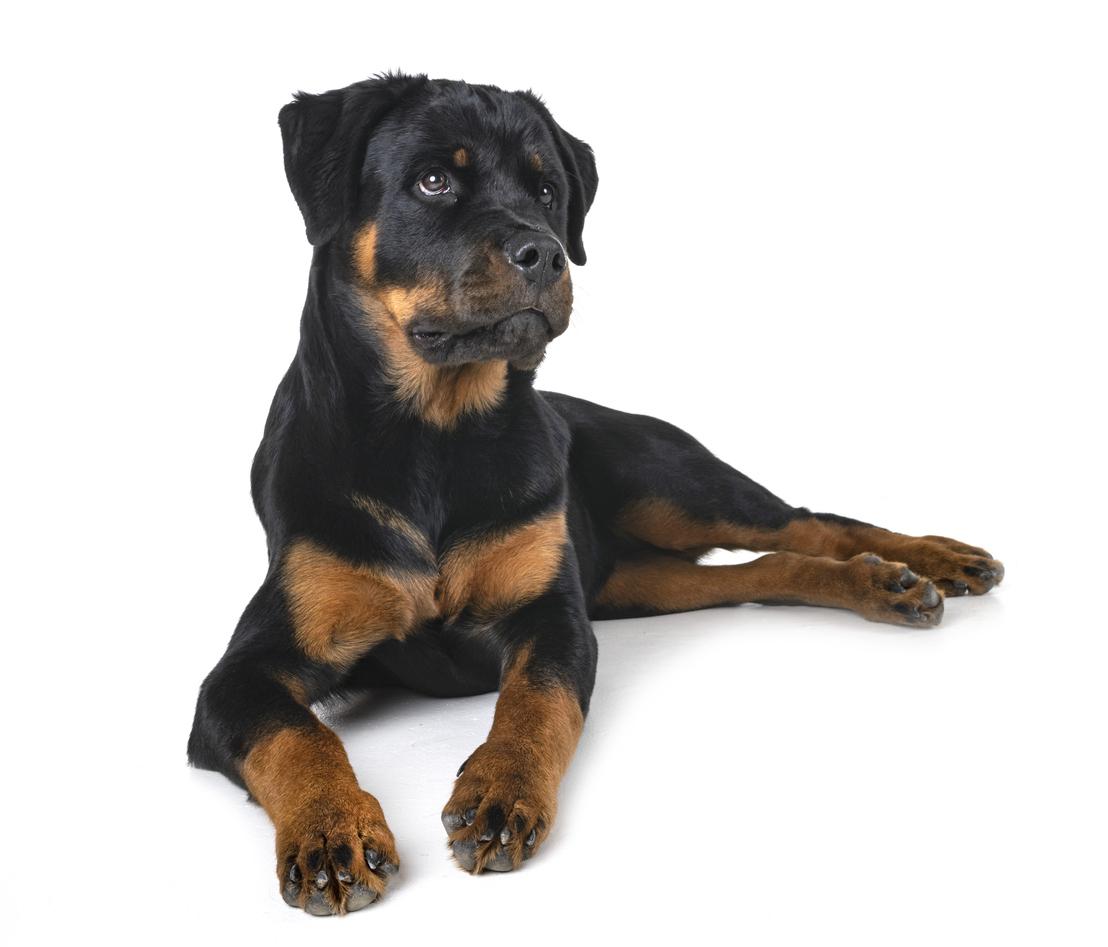 cane rottweiler la storia di una razza antica