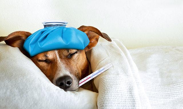 Come abbassare la febbre al cane? 5 rimedi