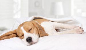 Beagle in casa freddo