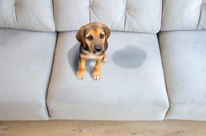 Cane fa la pipì in casa