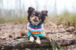 Chihuahua freddo