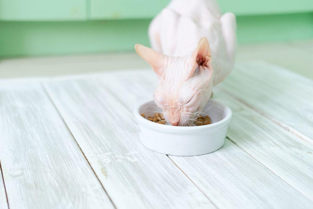 Sphynx che mangia