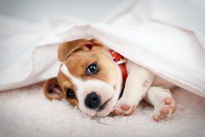 Jack russel terrier in casa