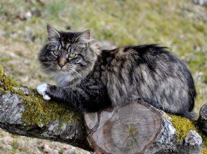 Razze di gatti a pelo lungo norvegese