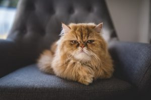 Gatto a pelo lungo persiano