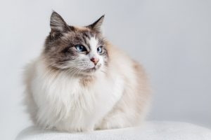 Gatti a pelo lungo ragdoll
