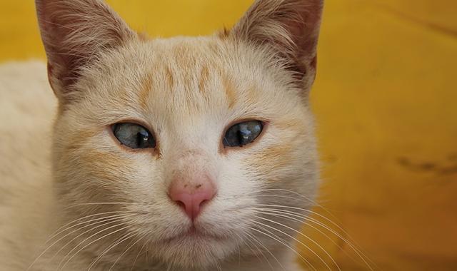 Gatti siamesi strabismo