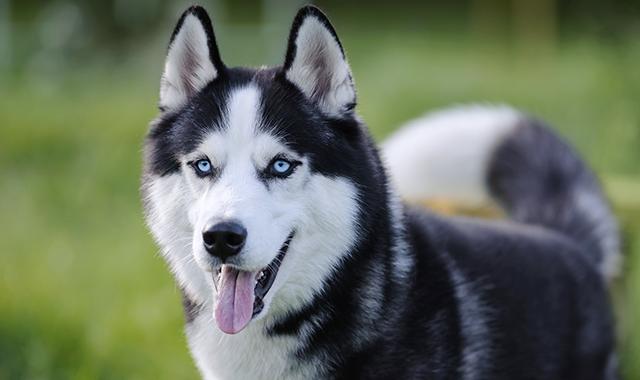 Siberian Husky: caratteritiche e salute