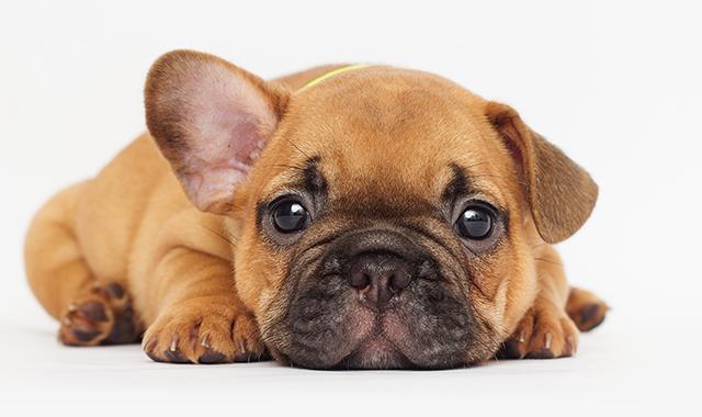 Cucciolo bulldog francese