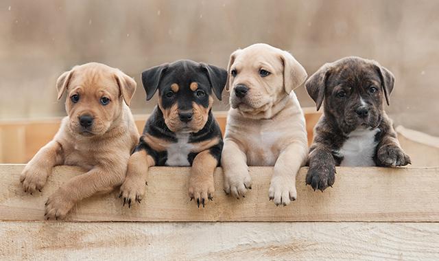 Cuccioli cane di razza: 20 bellissime foto per scegliere