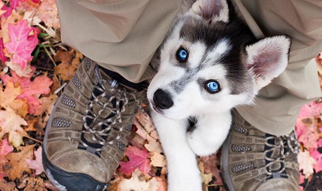 Siberian Husky cucciolo di cane