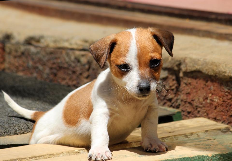 Jack Russell Terrier cuccioli cane