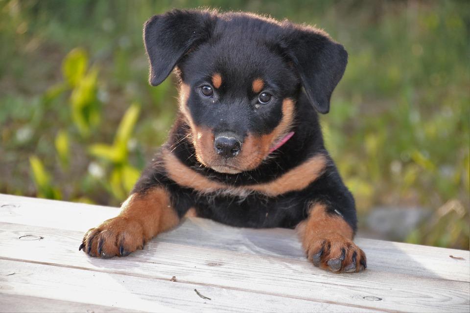 Rottweiler cuccioli cane
