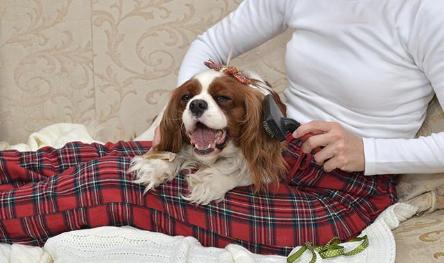 Cavalier King cura del pelo
