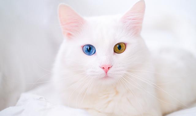 Gatto bianco occhi diversi