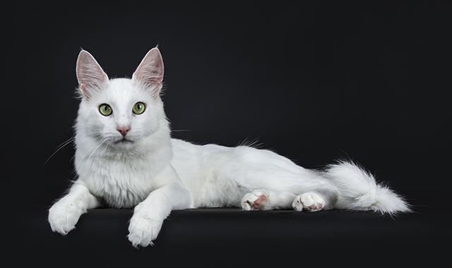 Storia gatto turco
