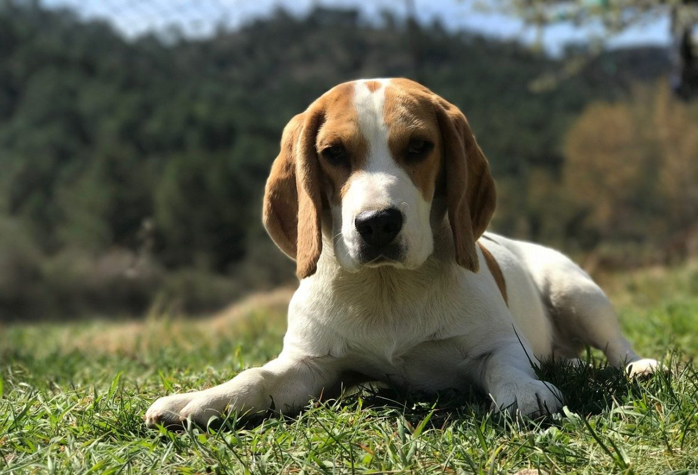 beagle che cosa mangia