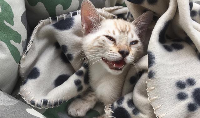 gatti che miagolano i diversi tipi di miagolio