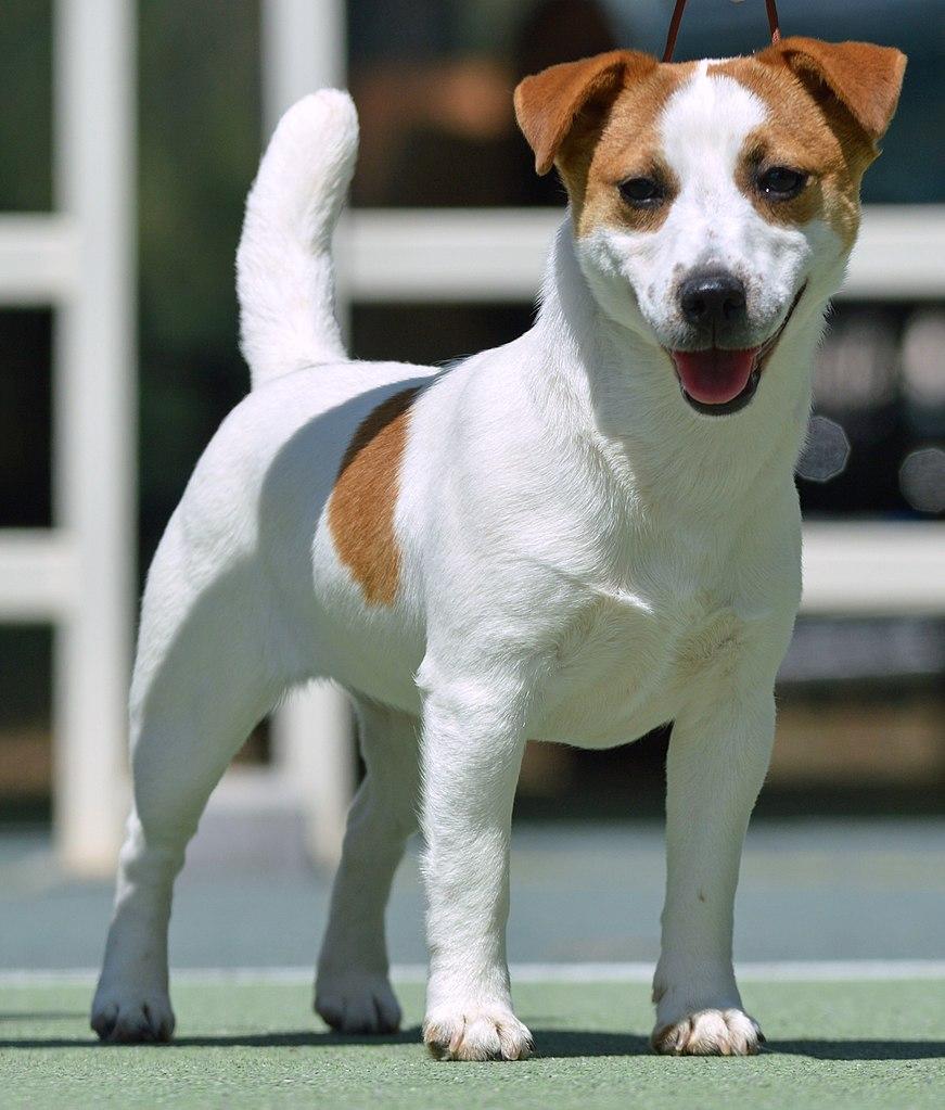 Jack Russell cucciolo