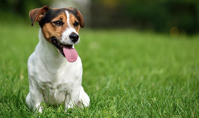 Jack Russell terrier: carattere, addestramento e prezzo