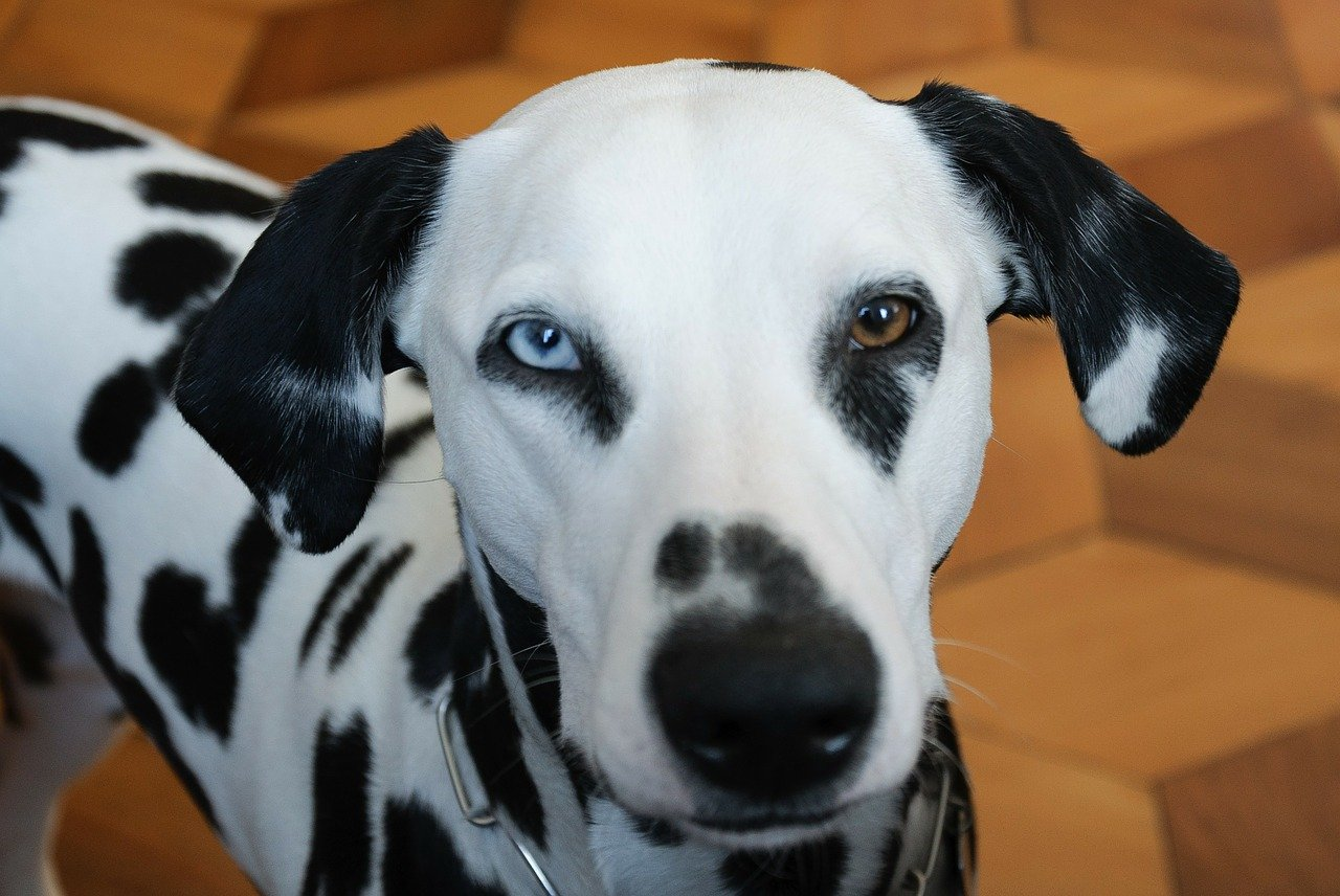 eterocromia occhi cani di razza