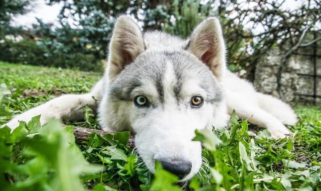 eterocromia occhi cane