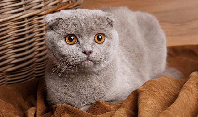scottish fold il gatto dalle orecchie piegate
