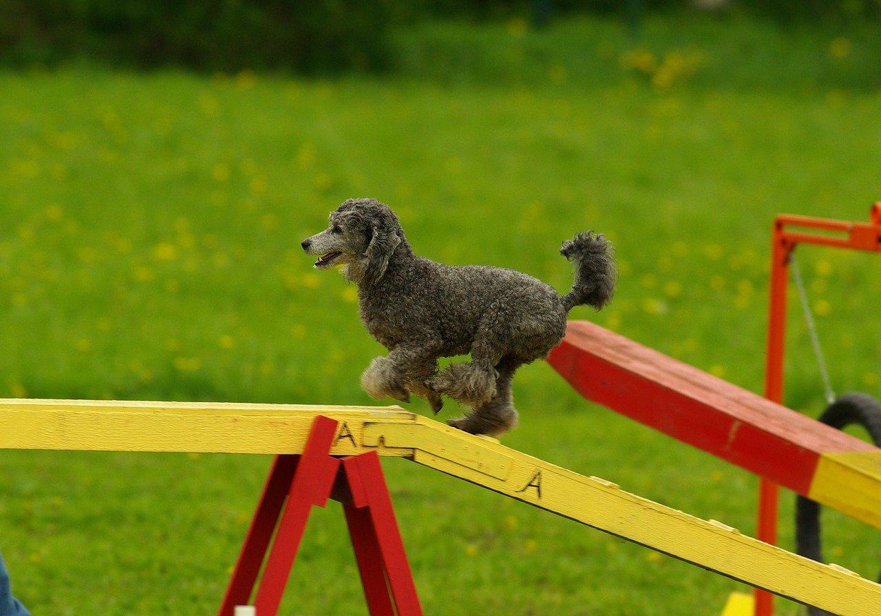 agility dog come funzionano i percorsi