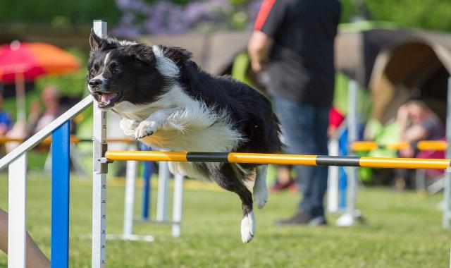 agility dog origini