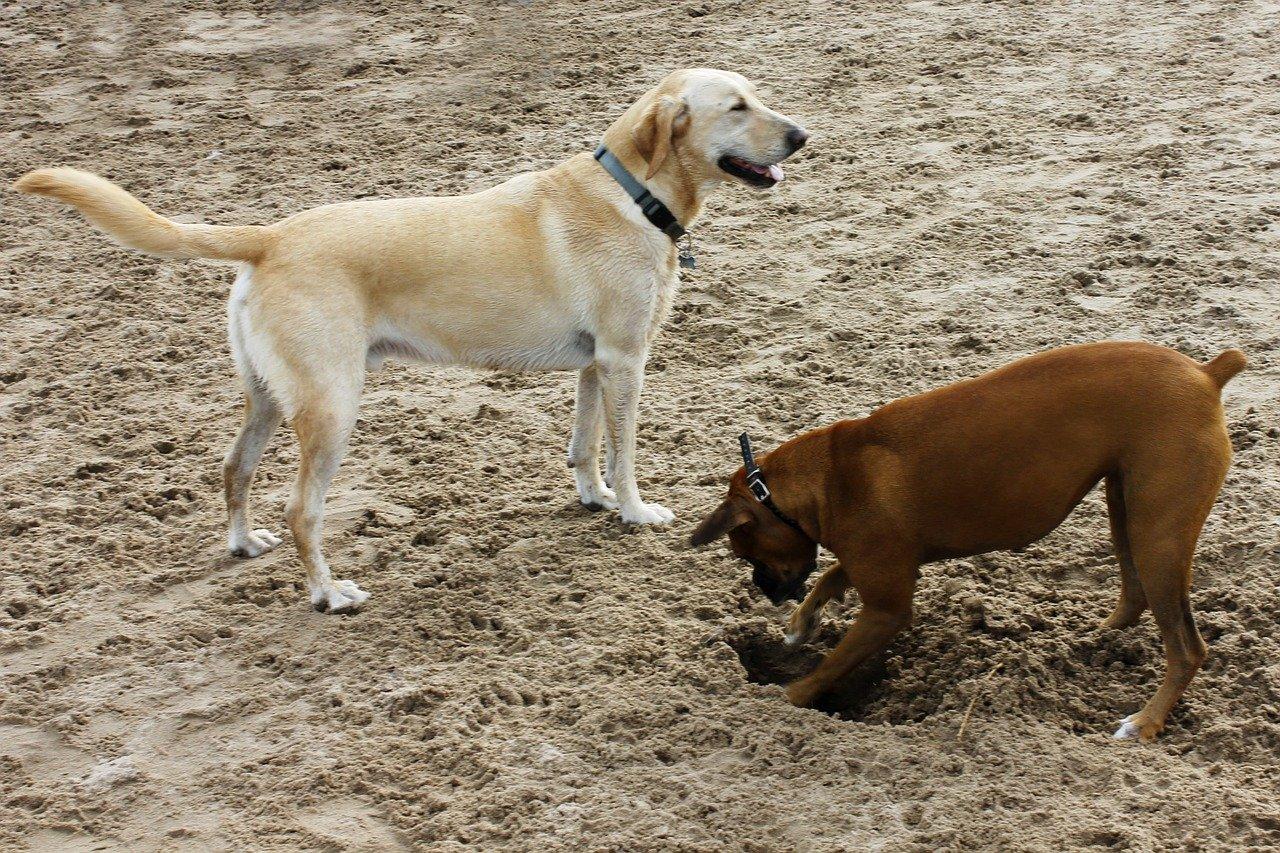 perché i cani scavano buche rimedi