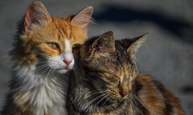 perchè i gatti fanno le fusa spiegazioni